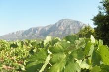 Vinyes verdes vora el Montgó.